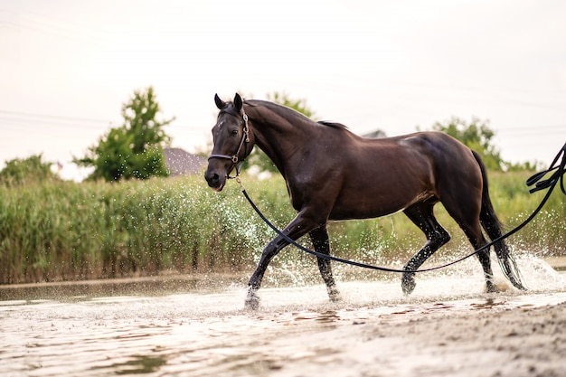 Beautiful well-groomed dark horse for a walk by the lake. a horse runs on water. strength and beauty