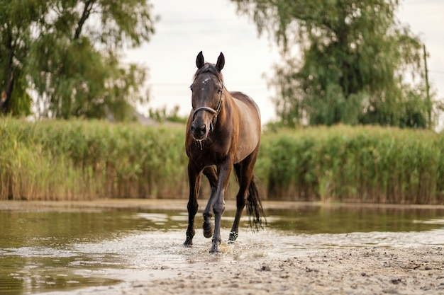 Beautiful well-groomed dark horse for a walk by the lake.