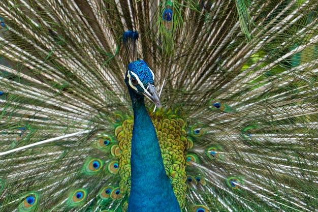 美しく手入れされた雄の孔雀、尾を広げ、豪華な尾、雌といちゃつく