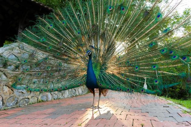 手入れの行き届いた美しい雄孔雀、尻尾、豪華な尻尾を広げ、女性といちゃつく