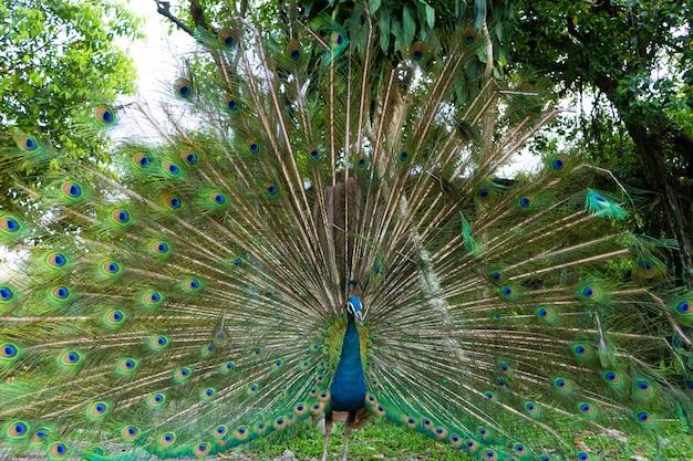 美しく手入れされた雄の孔雀、尻尾、豪華な尻尾を広げ、女性といちゃつく