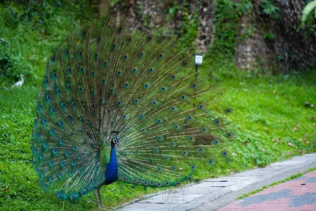 手入れの行き届いた美しい孔雀は雄大な尾をふわふわし、女性と浮気します
