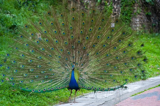 Beautiful well-groomed peacock fluffy a magnificent tail, flirts with a female