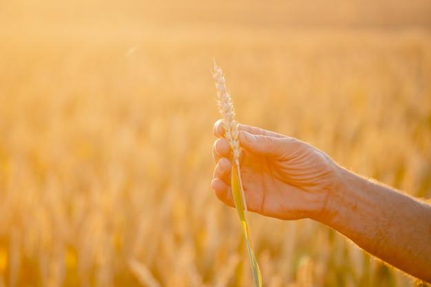 人間の手に美しい小麦の耳。収穫の概念。麦畑の日光。畑の人間の手にある黄色い麦畑の穂。自然の写真をクローズアップ。豊作のアイデア。