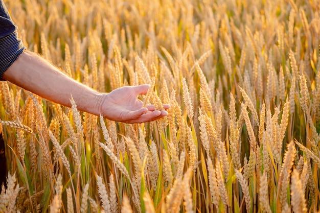 人間の手に美しい小麦の耳。収穫の概念。麦畑の日光。畑の人の手にある黄色い麦畑の穂。自然の写真をクローズアップ。豊作のアイデア。