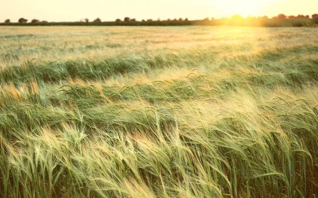 Beautiful wheat field in summer at sunset. nature