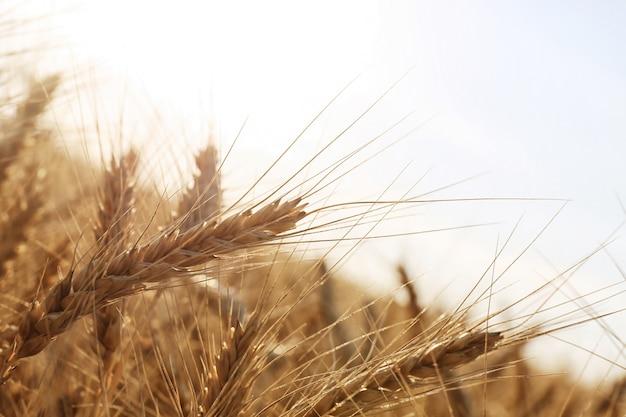 Красивое пшеничное поле