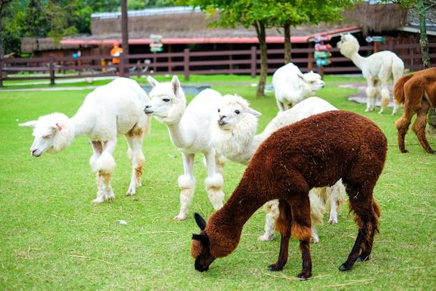 Красивая белая альпака в траве поля для животных