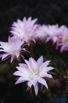 Красивые белые и розовые цветы кактуса на естественном фоне. скопируйте пространство.