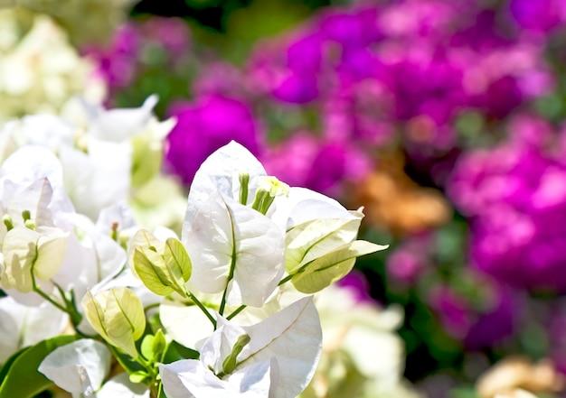 아름다운 흰색과 붉은 꽃
