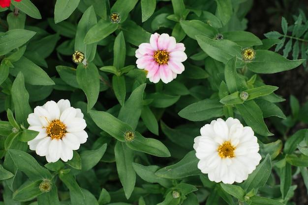 Красивая белая и нежно-розовая цинния в летнем саду. вид сверху