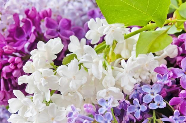 美しい白と紫のライラックの背景