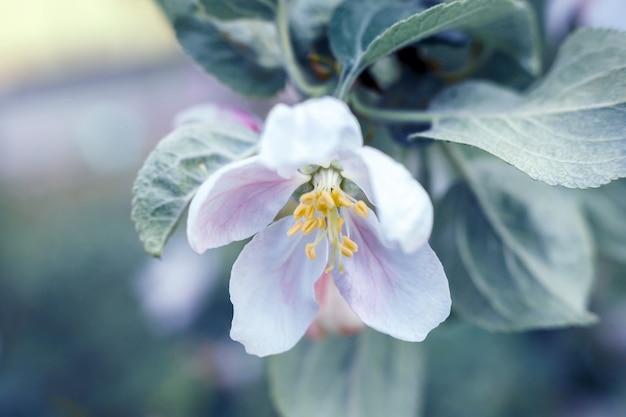 정원이나 공원에서 봄 시간에 아름다운 하얀 사과 꽃 꽃