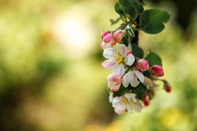 봄 시간에 아름 다운 하얀 사과 꽃 꽃