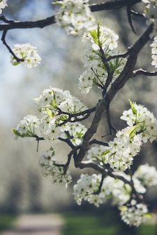 Beautiful white apple blossom sprouts on a branch of a tree during the beginning of the spring