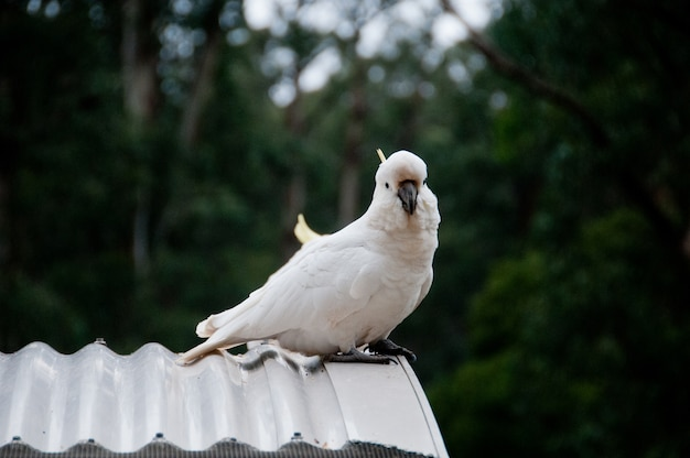 Beautiful white big cockatoo bird on metal roof