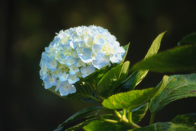 Beautiful white and blue hydrangea or hortensia flower close up.