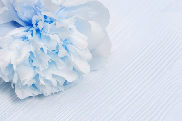 Красивый белый синий пион на деревянной поверхности. мягкий выборочный фокус.