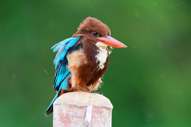 A beautiful white breasted kingfisher perched in the garden in the windy winter