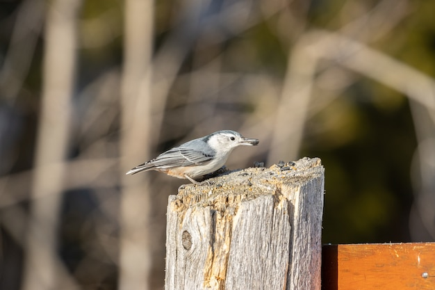 Beautiful white-breasted nuthatch bird resting on a wooden log