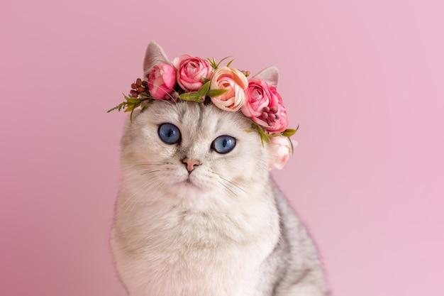 Красивый белый британский кот в короне из цветов на розовой стене