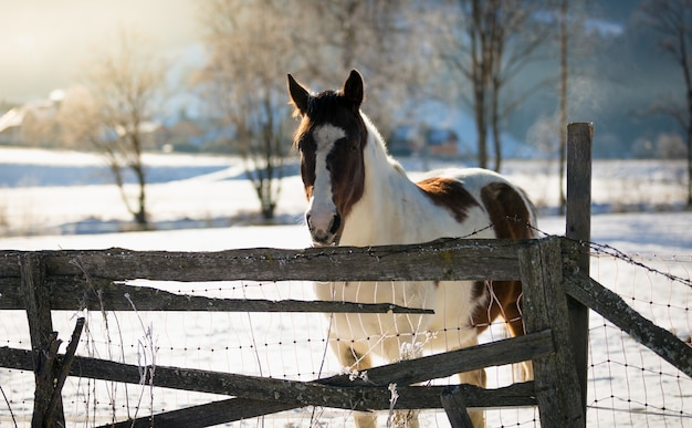 Beautiful white and brown horse at field covered by snow
