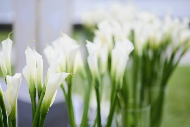 Beautiful white calla lily flowers