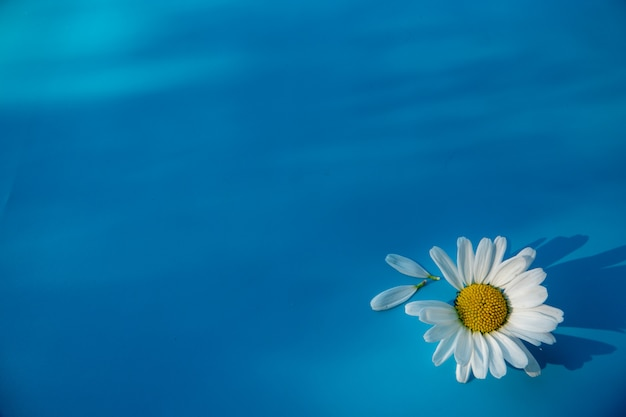Beautiful white camomile lies on a blue background