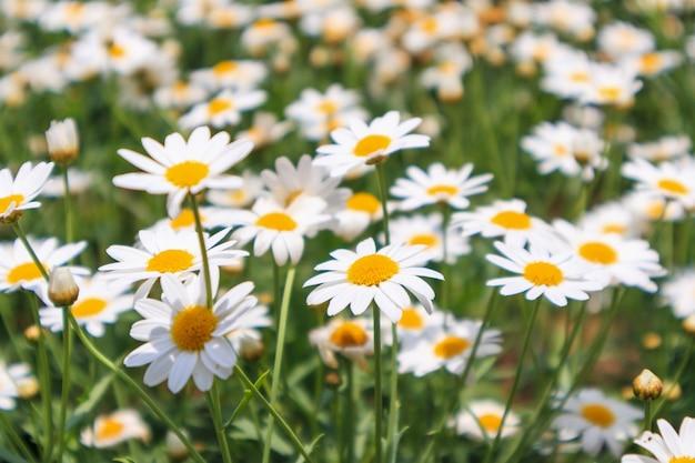 緑の牧草地に美しい白いカモミールの花