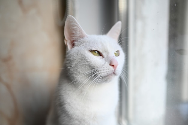Beautiful white cat looking at window