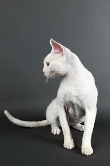 회색 벽에 아름 다운 흰 고양이