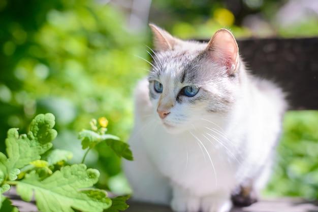 Красивая белая кошка с голубыми глазами летом в саду