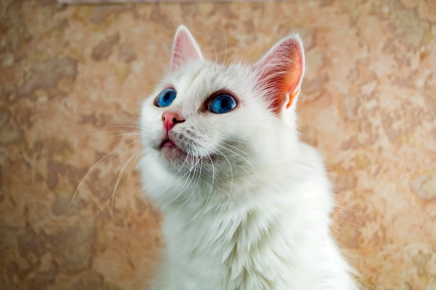 A beautiful white cat with blue eyes is closely watching something