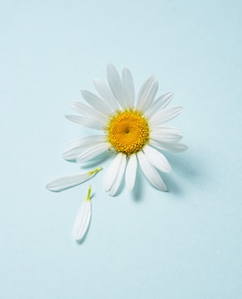 Beautiful white chamomile or daisy flower with tear petals  on blue background. top view and copy space image