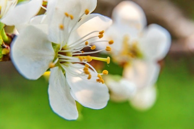 Beautiful white cherry blossom sakura flowers macro close up in spring time.  inspirational floral blooming garden or park. flower art design.