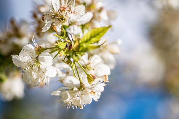 Beautiful white cherry blossoms on a blurred surface