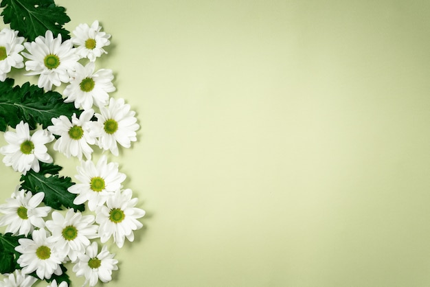 Beautiful, white chrysanthemums lie on a green background.