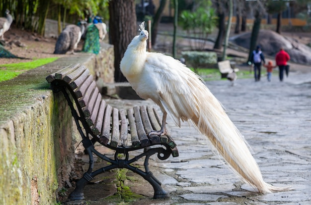 A beautiful white colored peacock perched on a wooden bench in a public park