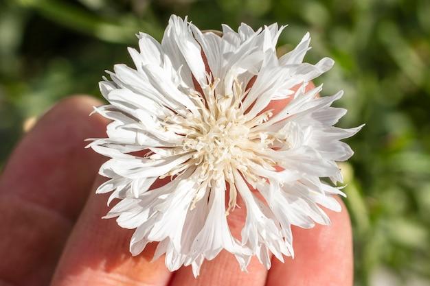 普通の美しい白いヤグルマギク。農業の概念。花のクローズアップ