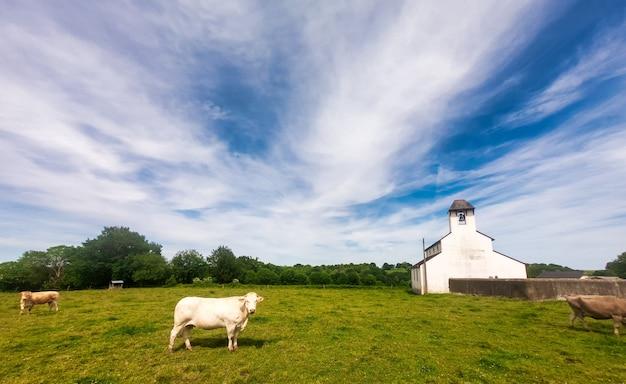 牧草地の美しい白い牛