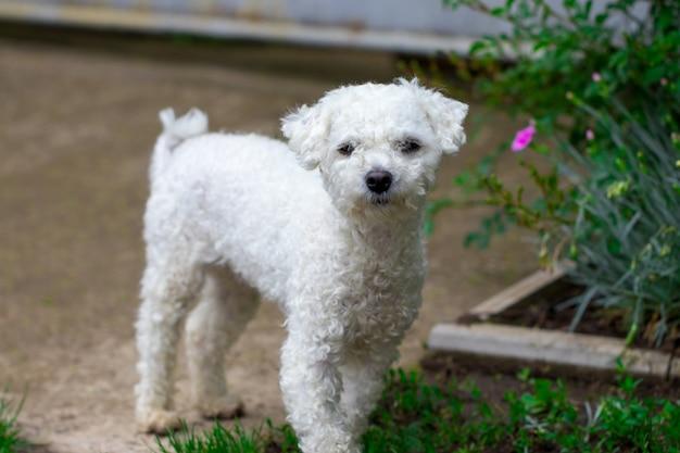 庭のクローズアップで美しい白い巻き毛の犬。
