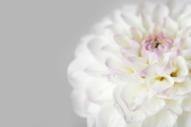 Красивый белый цветок георгина, крупным планом