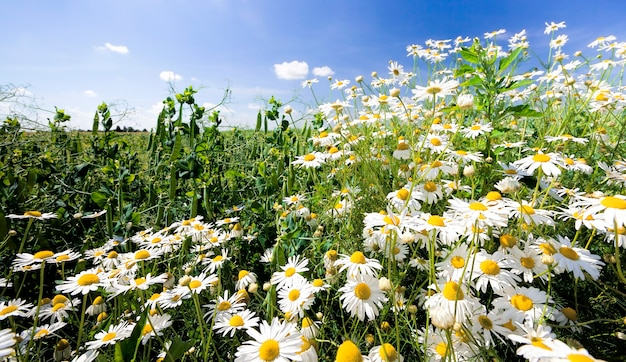 Beautiful white daisies growing in the field in the spring season, real nature, flowers are used in medicine closeup