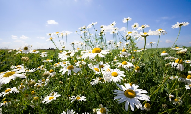 Beautiful white daisies growing in the field in the spring season, real nature, flowers are used in medicine