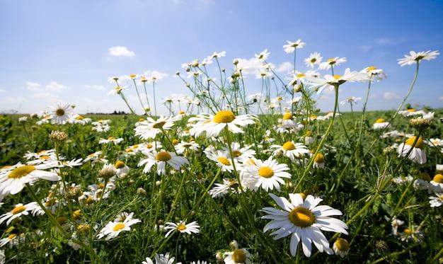春の畑で育つ美しい白いヒナギク、本物の自然、花は薬に使われています