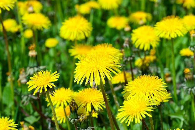 春の清算時に雑草のように生える美しい白いタンポポ