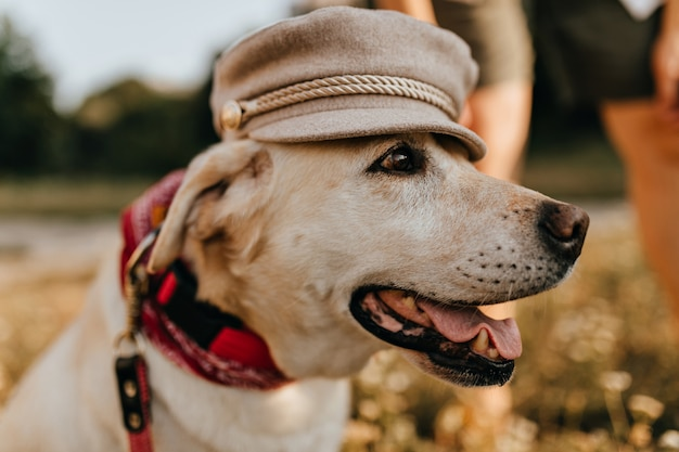 Beautiful white dog opens its mouth and poses in womens hat on background of grass.