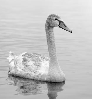 안개가 자욱한 겨울 강에 아름 다운 흰색 우아한 백조 새. 야생 동물 사진