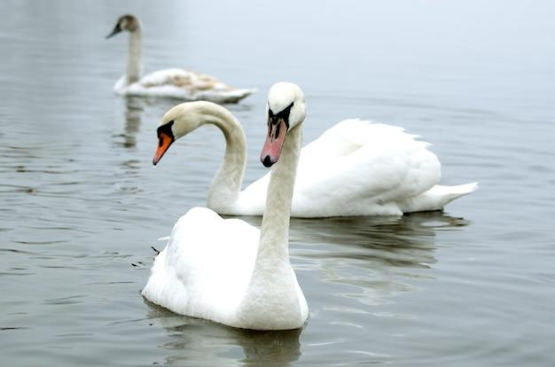 안개 낀 겨울 강에 아름다운 흰색 우아한 백조 새