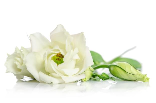 Beautiful white eustoma flowers on white surface